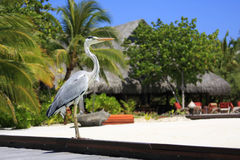 Bird Posing in Maldives. A bird posing for a photo on a beautiful Resort Island located in the Maldive Islands Stock Photography