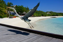 Bird Posing in Maldives. A bird posing for a photo on a beautiful Resort Island located in the Maldive Islands Stock Image