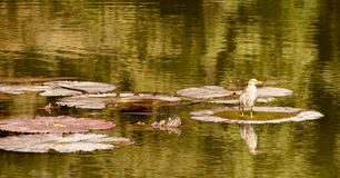 A bird posing in the water. In park Royalty Free Stock Images
