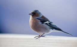 Bird on Post. Chaffinch close-up, sitting on a wooden rail Stock Photo