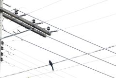 Bird in the Power lines stock image