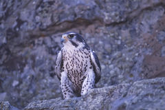 Bird-Prairie falcon. Prairie falcon on rock ledge. Photographed in Colorado Royalty Free Stock Photography