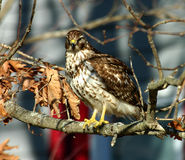 Bird of pray - Hawk. This hawk wa sitting in my yard watching my wifes bird feeders Stock Photo