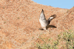 Bird of pray in Namibia Royalty Free Stock Image