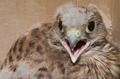 Bird of pray. Newborn Common Kestrel or  Falco tinnunculus, raptor bird. Bird of pray is the common name Royalty Free Stock Image
