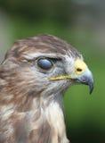 bird of pray with Nictitating Membrane royalty free stock image