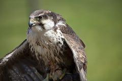 Bird predator. Bird ready predator for hunt Royalty Free Stock Image