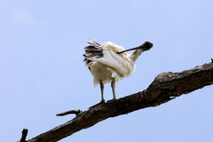Bird Preening stock images
