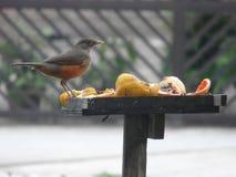 Urban bird fruit feast day royalty free stock image