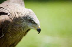Bird of prey. Image of a bird of prey over a natural background Royalty Free Stock Photo