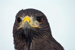 Bird of prey. Harris buzzard looking at me Royalty Free Stock Photo