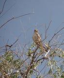 Bird of prey, Prairie Falcon. Prairie Falcon watching from tree top royalty free stock photos