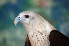 Bird Of Prey Royalty Free Stock Photography