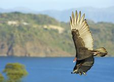 Bird of prey. Large bird of prey soars majestically in the morning sun Royalty Free Stock Photography
