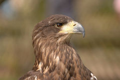 Bird of Prey. Close-up image of brown feathered bird. Beak and eye are in focus. Background is blurred stock photo