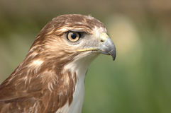 Bird of Prey. Close-up of brown feathered bird. Head is in profile with beak and eye in focus. Background is blurred stock photo