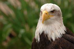 Bird Of Prey. Portrait of a bald eagle. Isolated by shallow depth of field stock photos