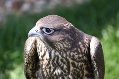 Bird of prey. Hawk closeup Royalty Free Stock Photos