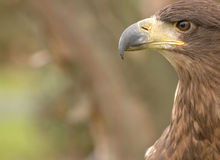 Bird of Prey. A close up on a hawk royalty free stock images