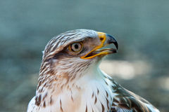 A Bird of prey. A white Bird of prey stock images