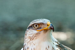 A Bird of prey. A white Bird of prey royalty free stock photos