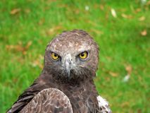 Bird of Prey. Close up of Bird of Prey royalty free stock photography