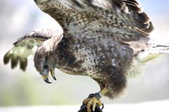 Bird of prey. Eating Stock Photography