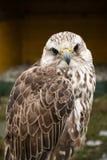 bird prey Στοκ Φωτογραφία