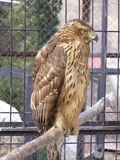 Bird of prey. A captive bird of prey sitting on a trunk in a cage Royalty Free Stock Photos