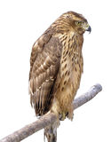 The bird of prey Royalty Free Stock Images