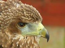 Bird of Prey. Close up of a bird of prey Stock Image