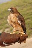 Hawk & Handler Stock Image