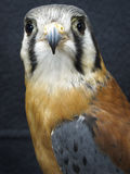 Bird of Prey - American Kestrel Royalty Free Stock Photography