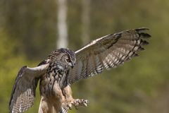 Bird of prey attacking prey. European Eagle Owl hunting. Stock Images