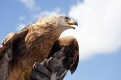 Bird Of Prey, Beak, Eagle, Hawk Royalty Free Stock Photography