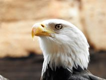 Bird Of Prey, Bird, Beak, Eagle royalty free stock image