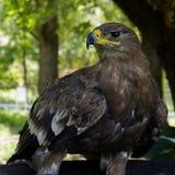 Bird Of Prey, Bird, Beak, Fauna royalty free stock photography