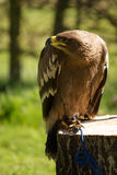 Bird of prey in captivity Royalty Free Stock Photography
