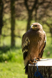 Bird of prey in captivity Stock Image