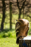 Bird of prey in captivity Royalty Free Stock Photography