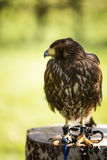 Bird of prey in captivity Royalty Free Stock Images