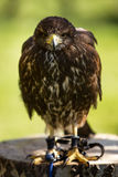 Bird of prey in captivity Royalty Free Stock Photo