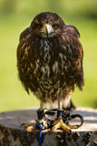 Bird of prey in captivity Stock Photography
