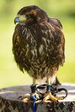 Bird of prey in captivity Royalty Free Stock Photos