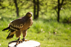 Bird of prey in captivity Stock Images
