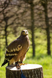 Bird of prey in captivity Stock Photo