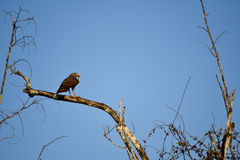 Bird of Prey. Catches lizard and sit on branch Stock Image