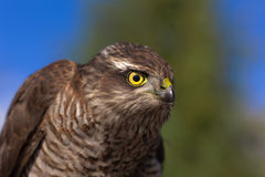 Bird of prey closeup stock image
