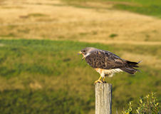 Bird of Prey communicating with it`s beak open while perched on a post Stock Photography
