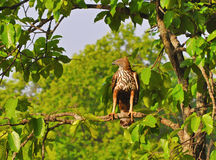 Bird of Prey. Changeable Hawk eagle sitting on tree branch in Bandhavgarh National Park Madhya Pradesh India Royalty Free Stock Photos